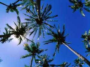 Palm Trees from Below at Anakena by Peter Hendrie