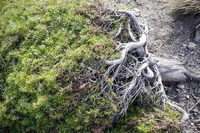 Gnarled vegetation in Cap de Creus, Costa Brava, Catalonia, Spain