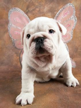 Bulldog Puppy Wearing Angel Wings by Peter M. Fisher