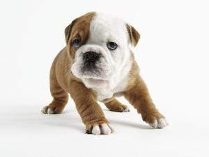 Bulldog Puppy by Peter M. Fisher