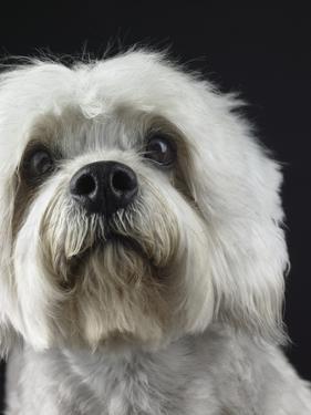 Dandie Dinmonts Terrier by Peter M. Fisher