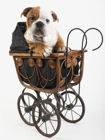 English Bulldog Puppy in a Baby Carriage