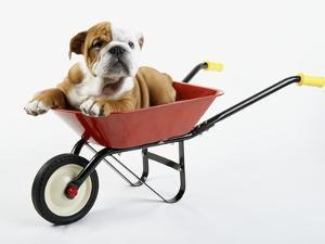 English Bulldog Puppy in a Wheelbarrow by Peter M. Fisher