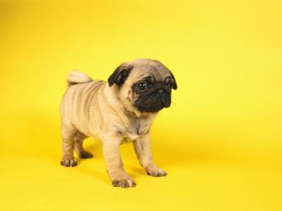 Pug Puppy by Peter M. Fisher