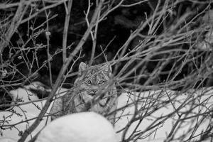 A Canadian Lynx Looking Through Willow Branches by Peter Mather