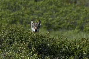 A Female Gray Wolf, Canis Lupus, Peering over a Shrub Near Her Den by Peter Mather