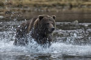 A Grizzly Bear, Ursus Arctos, Hunting Salmon in a River by Peter Mather
