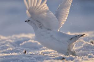 A Ptarmigan in its White Winter Plumage, Taking Flight by Peter Mather