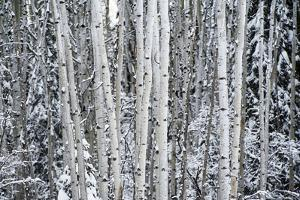 A Stand of Poplar Trees in a Snowy Forest by Peter Mather