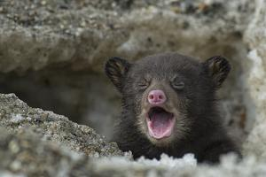 A Weeks-Old Black Bear Cub Crying as it Comes Out of its Den for the First Time by Peter Mather