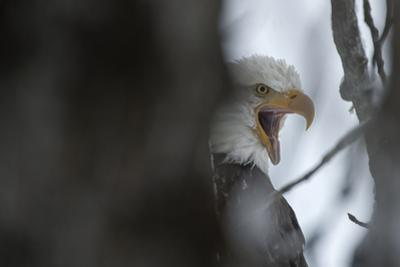An American Bald Eagle Calling from its Perch in a Tree by Peter Mather