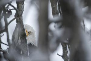An American Bald Eagle Hidden Among Tree Branches by Peter Mather