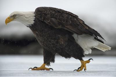 An American Bald Eagle Walking on the Ground During a Snow Shower by Peter Mather