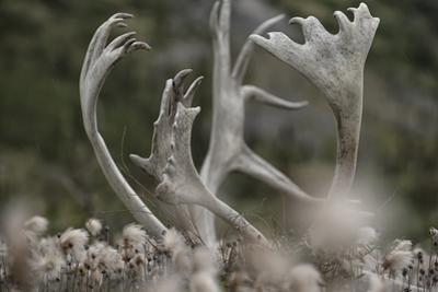 Antlers of a Male Woodland Caribou in a Field of Dryas by Peter Mather