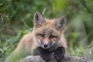 Close Up Portrait of a Red Fox, Vulpes Vulpes by Peter Mather
