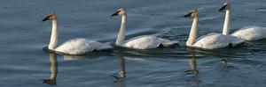 Four Trumpeter Swans Swimming in a Row by Peter Mather
