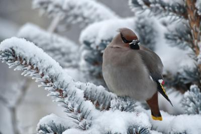 Portrait of a Bohemian Waxwing Perching on a Snow-Covered Pine Tree Branch