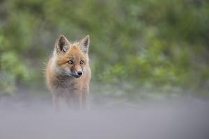 Portrait of a Red Fox Kit by Peter Mather
