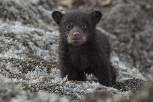 Portrait of a Weeks-Old Black Bear Cub, Out of its Den for the First Time by Peter Mather