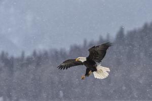 Portrait of an American Bald Eagle in Flight During a Snow Shower by Peter Mather
