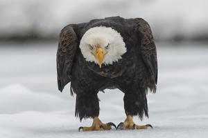 Portrait of an American Bald Eagle on the Ground During a Snow Shower by Peter Mather