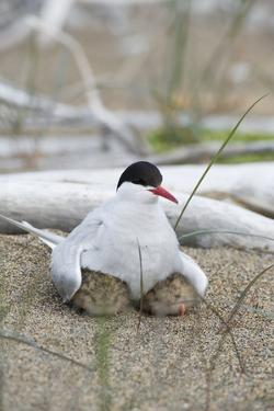 Portrait of an Arctic Tern, Sterna Paradisaea, and Her Chicks on an Arctic Ocean Beach by Peter Mather