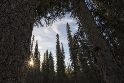 Sunlight Streaming Through a Forest of Evergreen Trees by Peter Mather