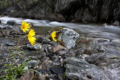 Yellow Wildflowers Beside a Swift Flowing Creek by Peter Mather
