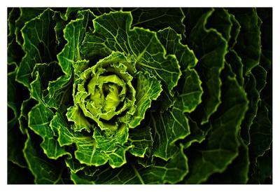 Cabbage I