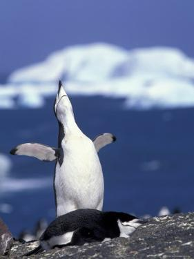Chinstrap Penguin, Ecstatic Display, South Sandwich Is by Peter Oxford