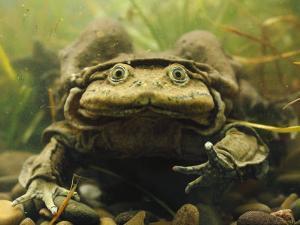 Giant Titicaca Lake Frog, Lake Titicaca, Bolivia / Peru by Peter Oxford