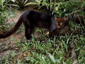 Jaguarundi, Ecuadorian Amazon Ecuador by Peter Oxford