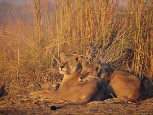 Lions Basking in Sun, Linyanti, Botswana by Peter Oxford