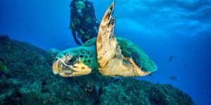 Loggerhead Turtle, (Caretta Caretta), Indian Ocean by Peter Pinnock