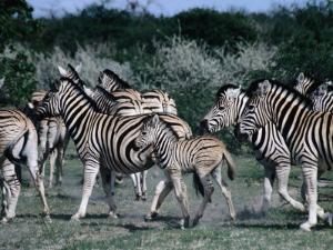 Group of Zebras, Etosha National Park, Namibia by Peter Ptschelinzew