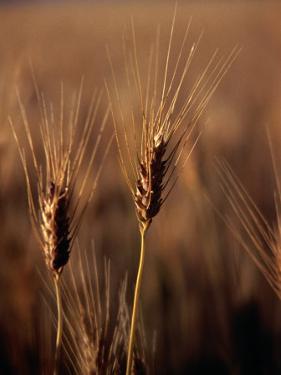 Wheat in Mullewa, Australia by Peter Ptschelinzew