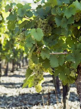 White Wine Grapes on the Vine by Peter Rees