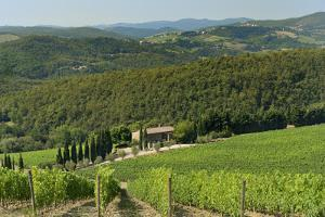 Vineyard and Olive Grove, Pian D'Albola, Radda in Chianti, Siena Province, Tuscany, Italy, Europe by Peter Richardson