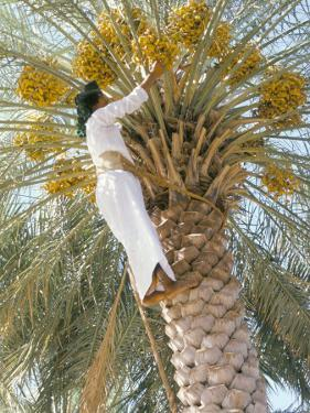 Date Picker, Nizwa, Oman, Gulf States, Middle East by Peter Ryan