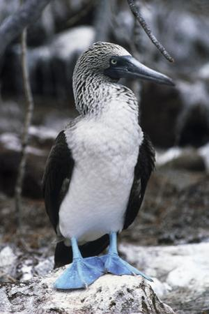 Blue-footed Booby by Peter Scoones