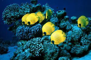 Masked Butterfly Fish by Peter Scoones