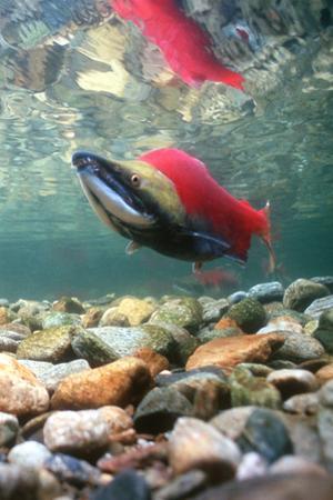 Spawning Sockeye Salmon by Peter Scoones