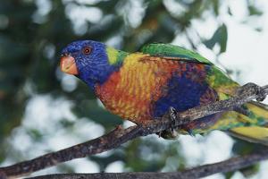 Australia, Eastern States of Australia, Close Up of Rainbow Lorikeet by Peter Skinner
