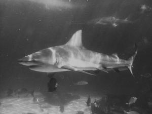 Bull Shark by Peter Stackpole