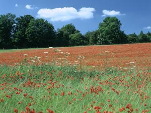 Poppy Field, Near Polesden Lacey, Surrey by Peter Thompson