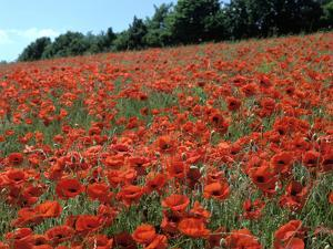 Poppy Fields, Great Bookham, Surrey, England, C2000 by Peter Thompson