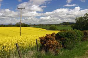Rape Seed Field by Peter Thompson