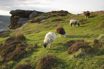 Sheep Grazing, Curbar Edge, Derbyshire, 2009