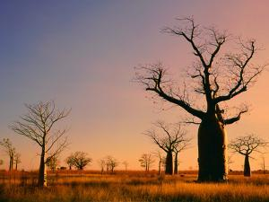 Boab Trees (Adansonia Gregorii) against a Sunset Sky at Derby in the Kimberley, Western Australia by Peter Walton Photography