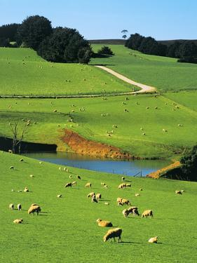 Ewes and Lambs Grazing at Thorpdale, Strzelecki Ranges, West Gippsland, Victoria, Australia by Peter Walton Photography